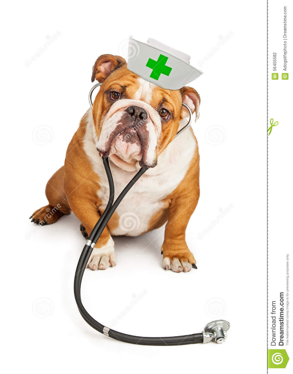 A bulldog dressed up as a nurse, complete with stethoscope and outfit.